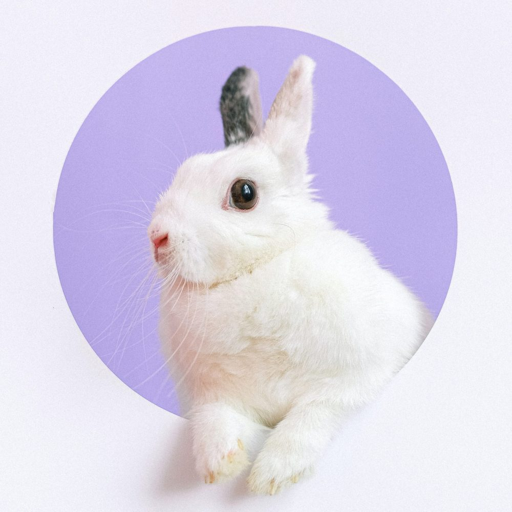 White rabbit with black ear